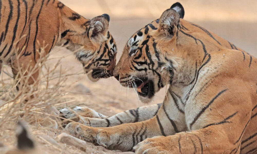 Tiger mother and cub touching noses
