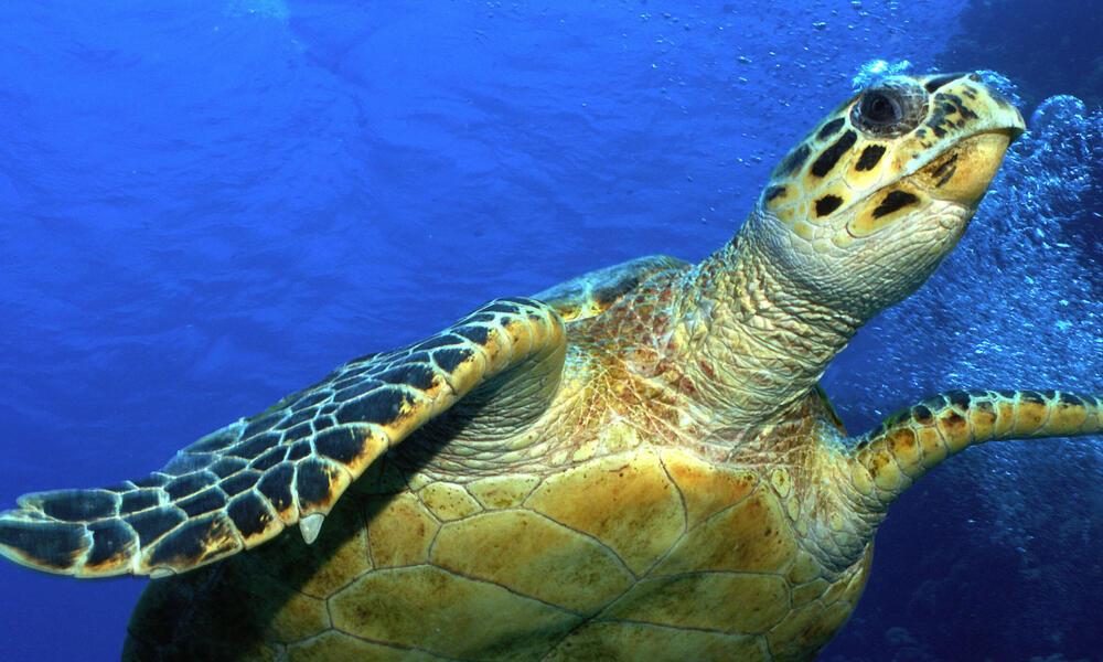 Hawksbill turtle (Eretmochelys imbricata), Red Sea, Egypt
