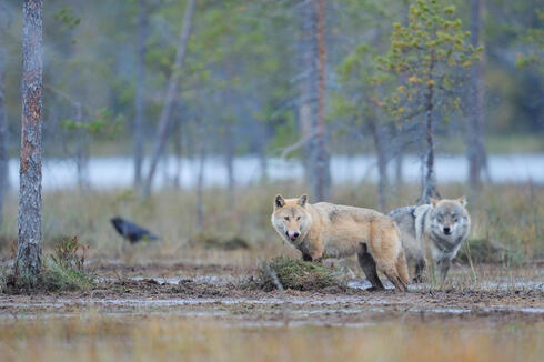 Two European grey wolves stand in a muddy clearing in a forest