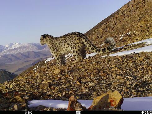A snow leopard walks along a snowy mountain