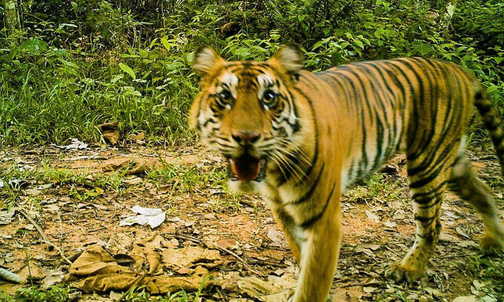 Sumatran tiger in Thirty Hills