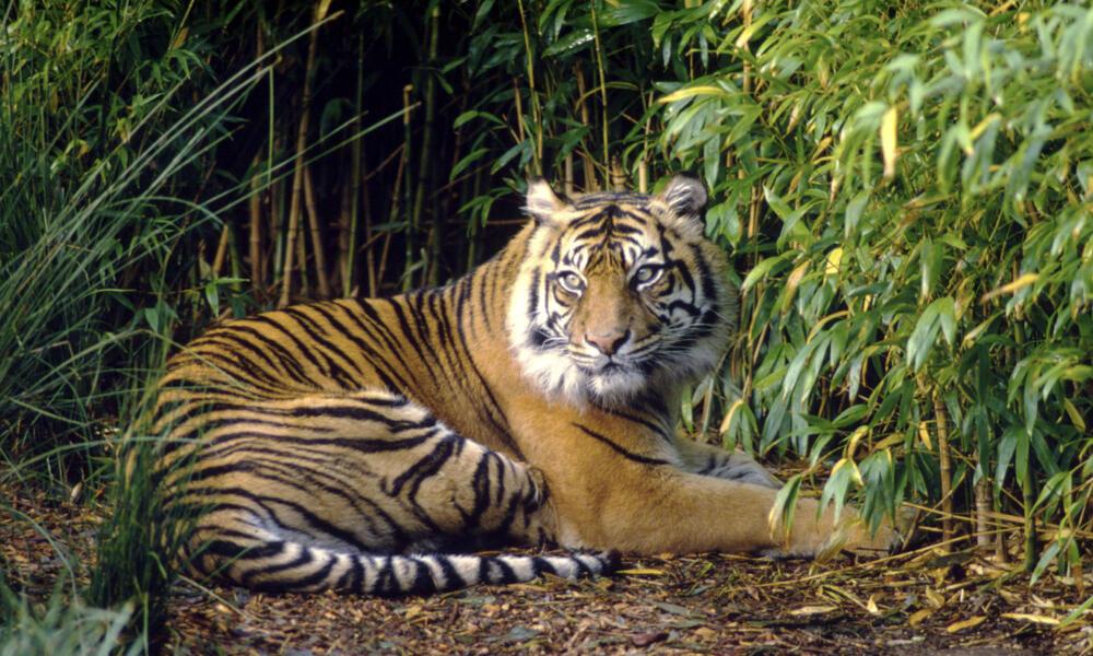 Sumatran tiger, resting  Sumatra  Indonesia