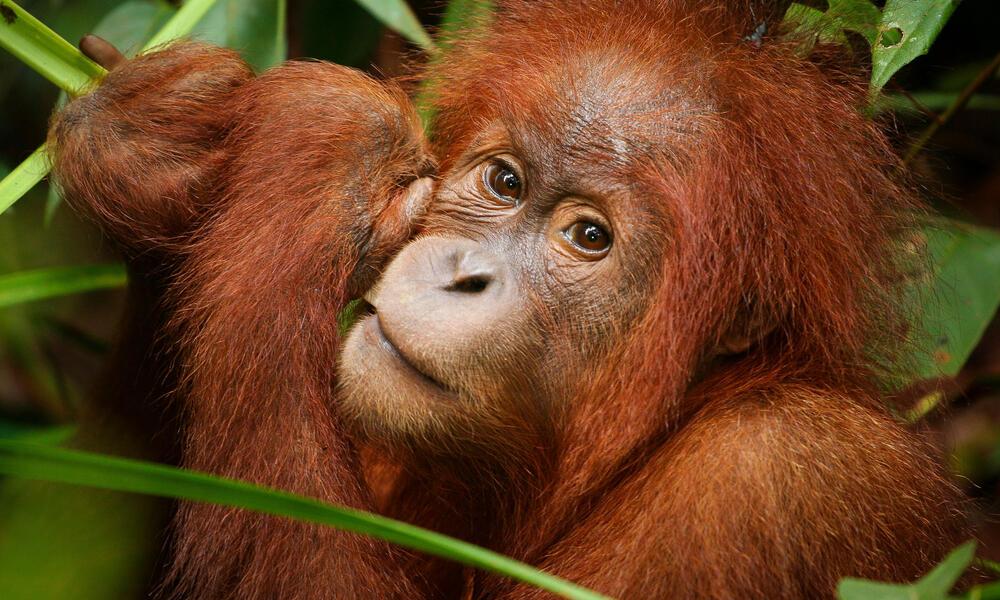 orangutan in Thirty Hills, Sumatra
