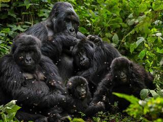 Family of gorillas