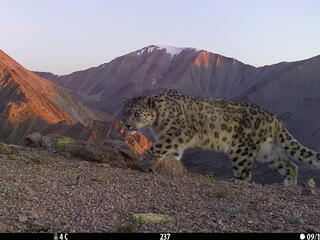 A snow leopard stalks along a mountain pass in Mongolia