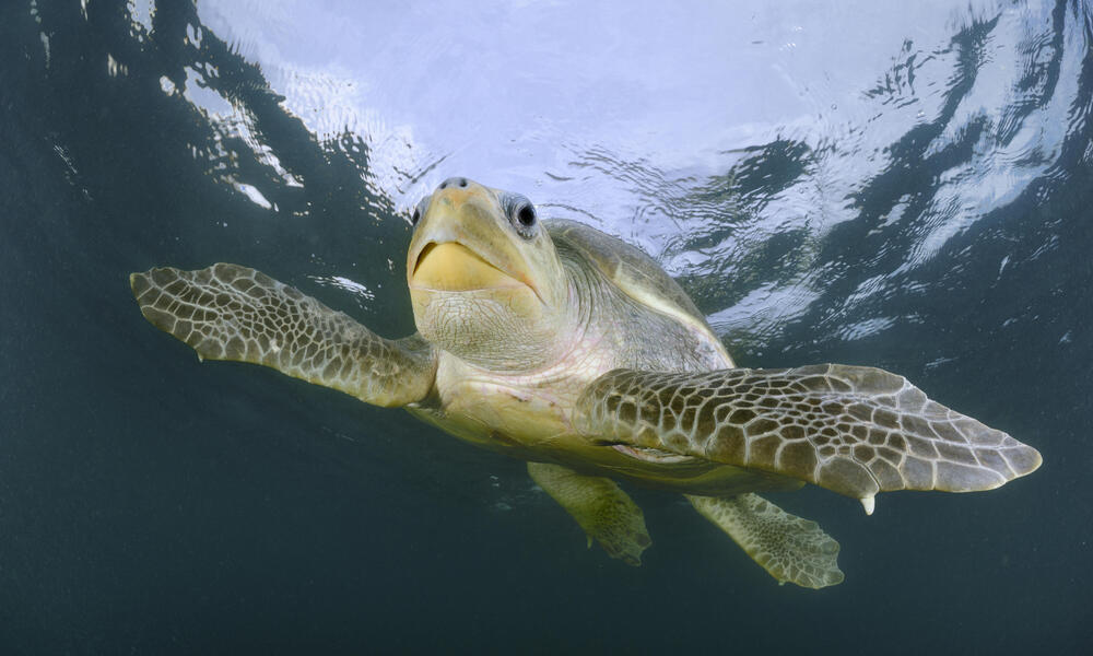 Oliver Ridley Sea Turtle