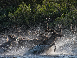 A herd of caribou charges through water spraying droplets everywhere