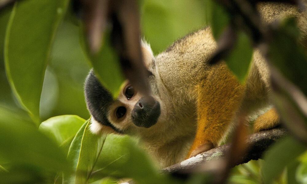 squirrel monkey Amazon
