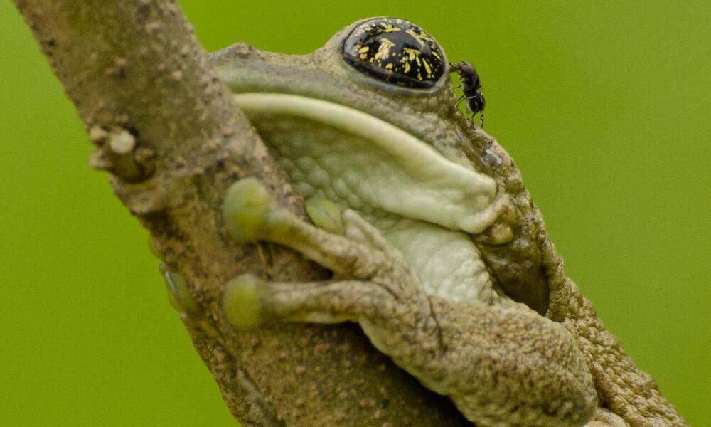 frog Amazon