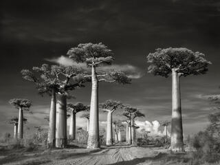 Road passing between baobab trees