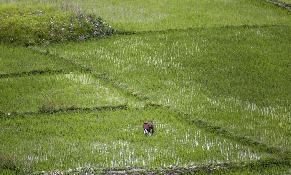 A farmer planting rice in a padi field, Paro, Bhutan