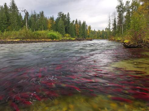 Salmon swimming up the Adams River in Canada