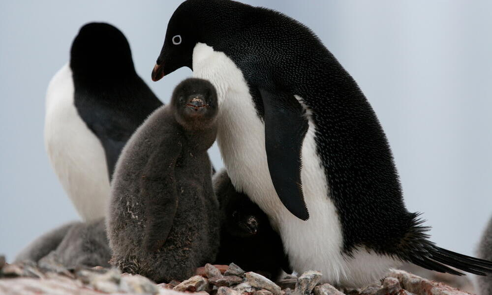 Adult Adelie penguins with chicks