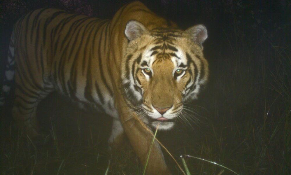 Adult tiger camera trap