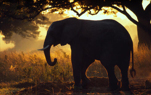 African elephant in silhouette against sunset, Zimbabwe