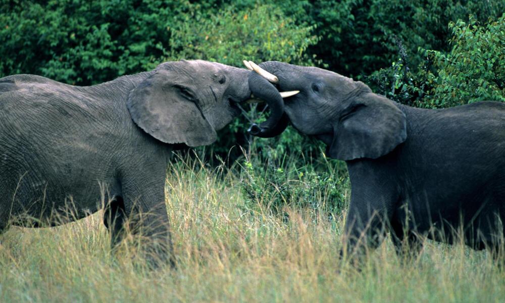 Two male African elephants (Loxodonta africana) with locked trunks. Kenya.