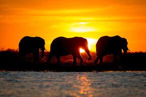 African elephants (Loxodonta africana) in the Bwabwata National Park (Buffalo core area) in the Zambezi Region of Namibia.