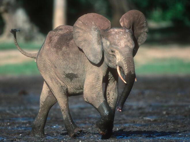Loxodonta africana cyclotis, Forest elephant (young)