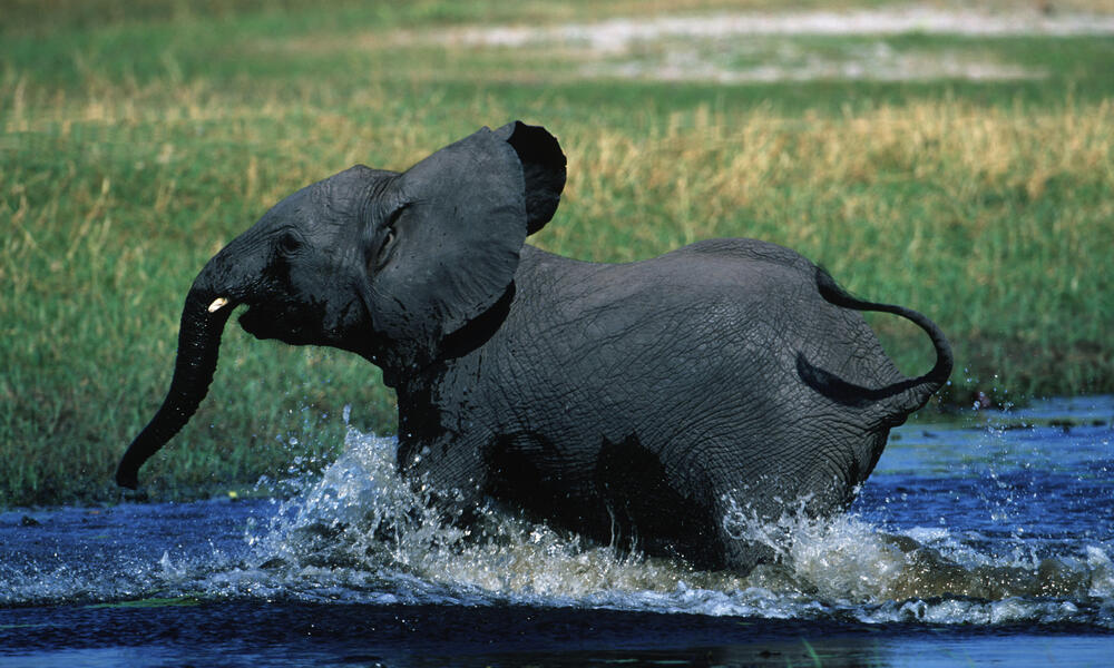 African savanna elephant running