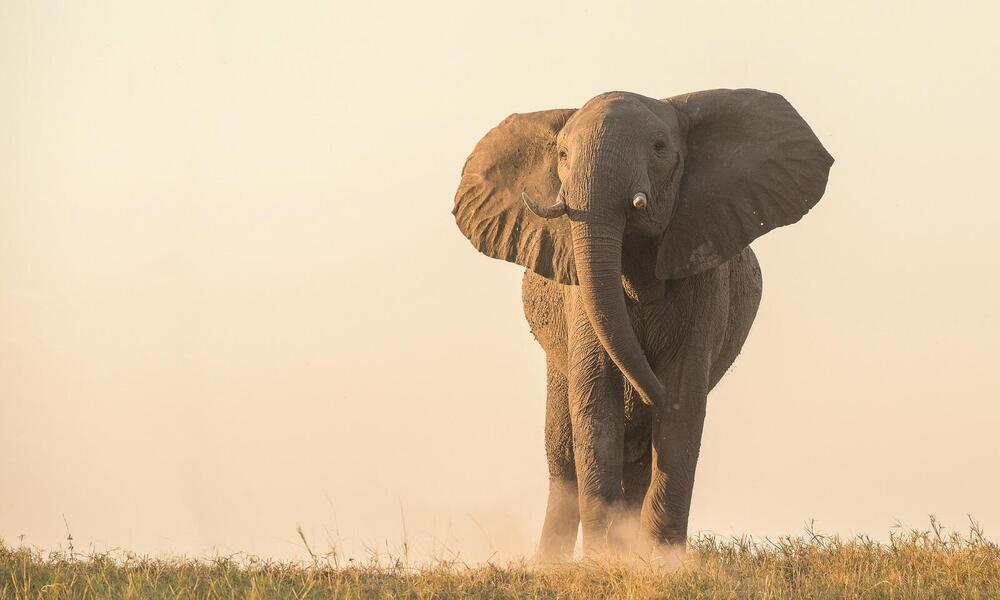 African elephant at dusk