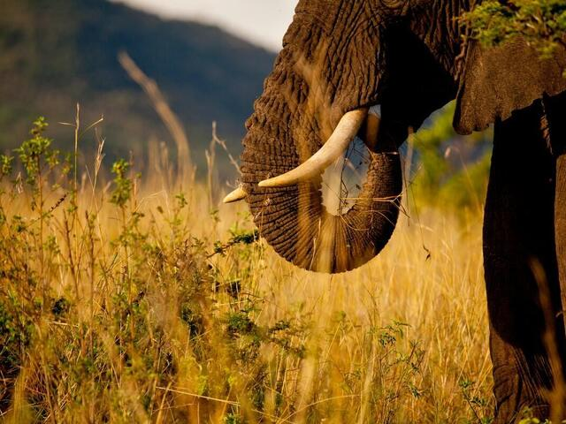 Close up of an African elephants trunk with African bushland in the background