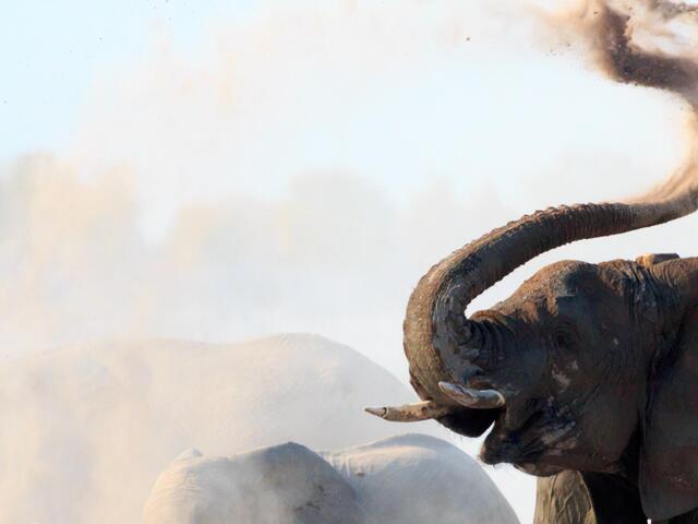 African elephants (Loxodonta africana) having a dust bath in the Etosha National Park, Namibia, Africa