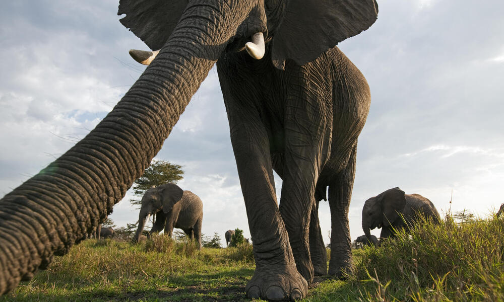 African elephant investigating with its trunk (Loxodonta africana), Maasai Mara National Reserve, Kenya.