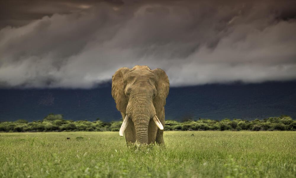 African elephant walking in a field
