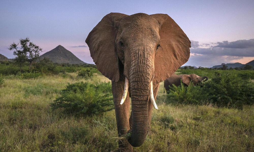 African elephant with tusks walks towards the camera