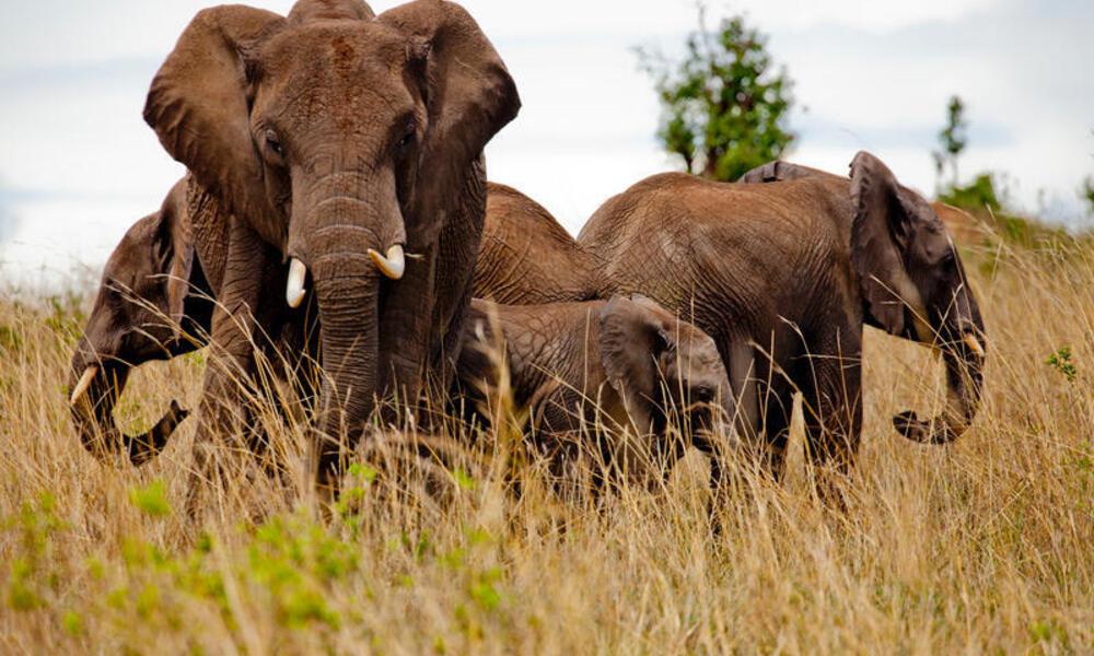 African elephants in the Masai Mara reserve, Kenya