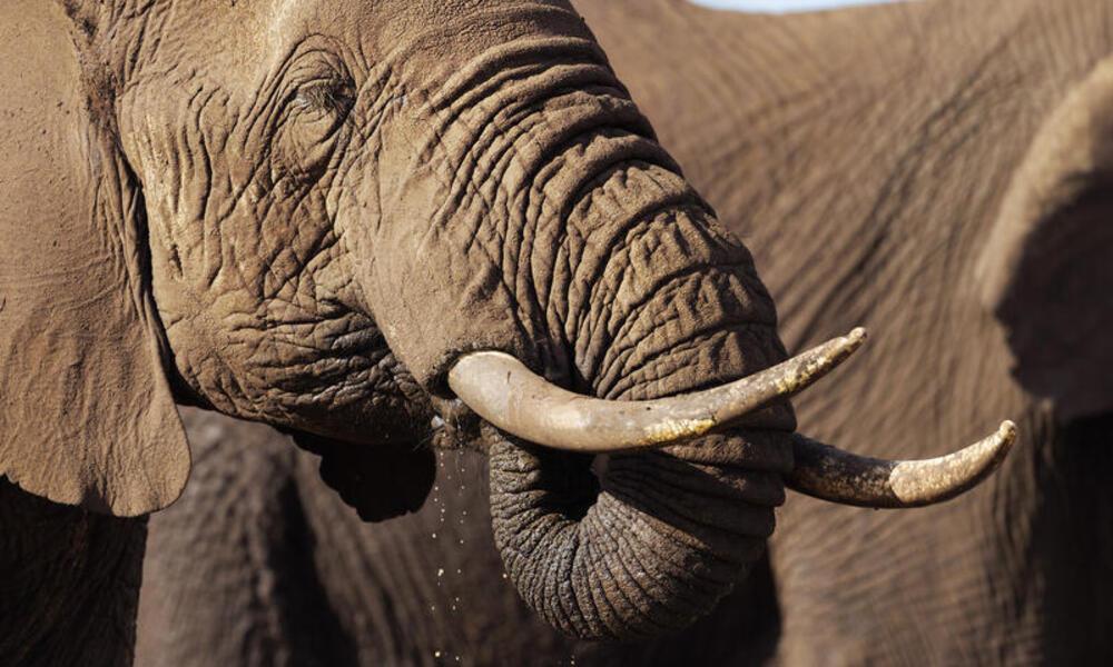 African elephants drinking at a waterhole, Kenya.