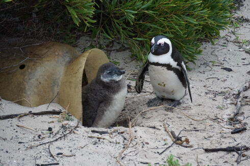 An African penguin chick emerges from a manmade nest box, as a parent penguin stands nearby.