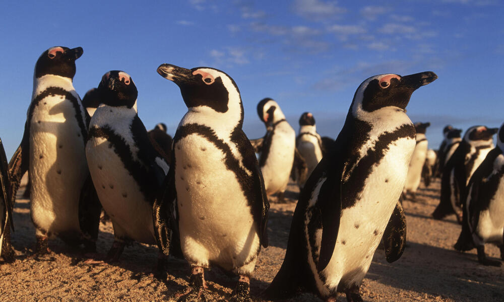 African penguins resting on the beach after returning from feeding at sea.