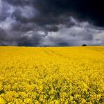 Yellow field of flowers under very story sky