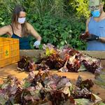 Two people in masks sort lettuce