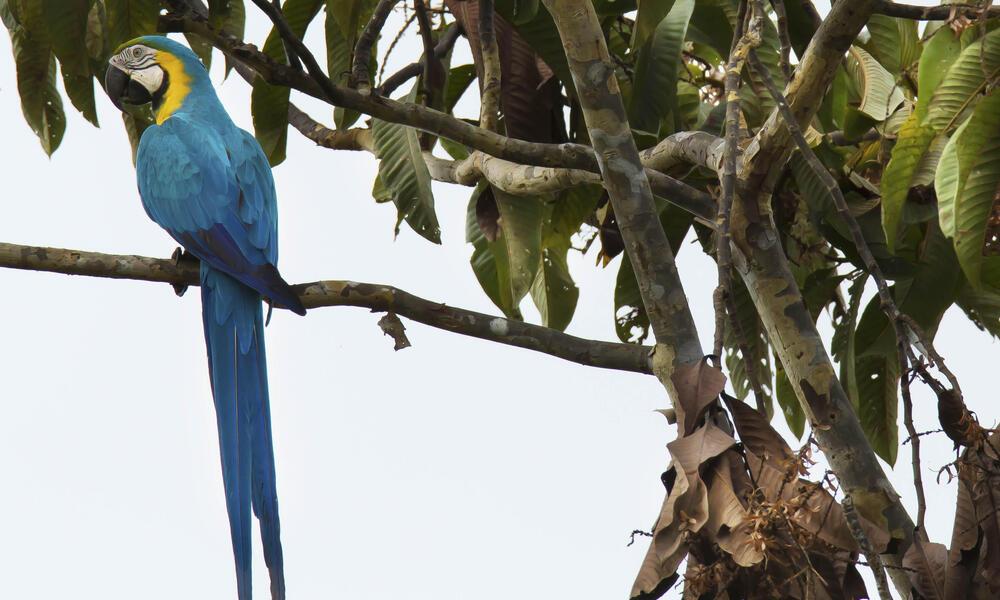 Blue-and-yellow macaw, Ara ararauna, in the Pacaya Samira Reserve in the Peruvian Amazon