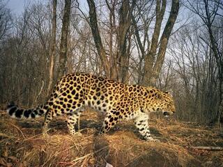 camera trap image of Amur leopard