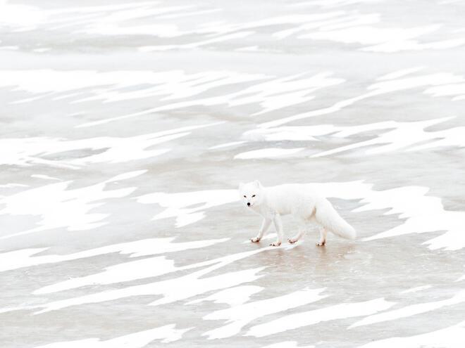 Arctic fox crosses pond