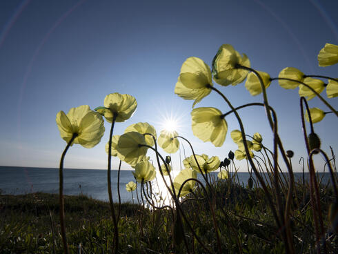 The Arctic Poppy (known scientifically as Papaver radicatum) is one of the most common plants found in the Arctic region in Alaska.