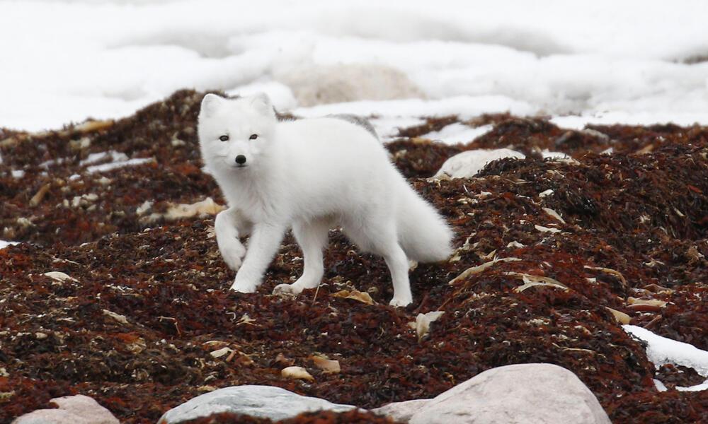 Arctic fox (Vulpes lagopus) in Churchill, Manitoba, Canada