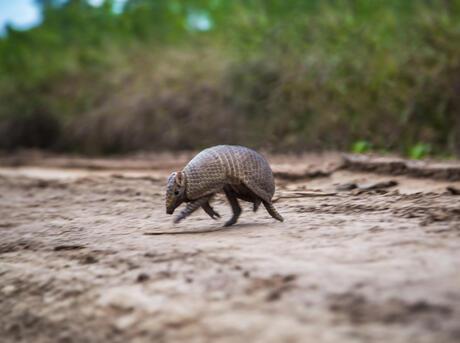 an armadillo walking