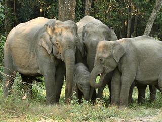 elephants in Kaziranga