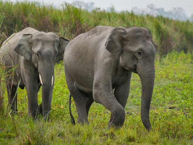Asian elephant (Elephas maximus) in Kaziranga National park.