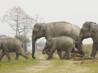 Family of Indian elephants