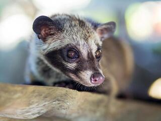 A close-up of an Asian palm civet's masked face and snout
