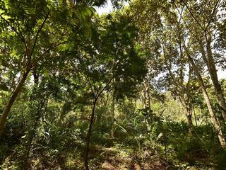 Mature trees in Copaiba restoration project, Atlantic Forest, Brazil