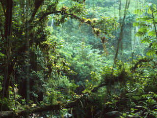 A lush green rainforest with vines hanging from the canopy