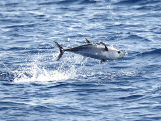 Atlantic bluefin tuna jumping out of water