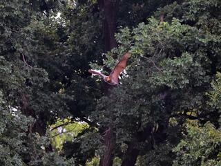 Grey headed flying fox takes flight from a large leafy tree