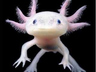 Pink axolotl up close